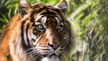 Tiger's Avenge:  పాము పగబడితే ఎలా ఉంటుందో కానీ, పులి పగబడితే అత్యంత క్రూరంగా ఉంటుంది. 'గాయపడ్డ పులి' అని ఎందుకు సంభోదిస్తారో ఈ స్టోరీ చదివితే మీకే తెలుస్తుంది!