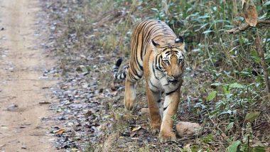 Tiger Tests COVID-19 Positive: కరోనా మరో షాక్, పులికి కరోనా వైరస్ పాజిటివ్, న్యూయార్క్లోని బ్రాంక్స్ జూలోని ఆడపులికి కోవిడ్ 19. ఖంగుతిన్న అధికారులు