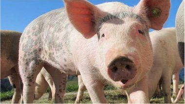 African Swine Flu: కరోనాకు తోడయిన మరో వైరస్, 'ఆఫ్రికన్ స్వైన్ ఫ్లూ' ధాటికి 2500 పందులు మృతి, మనుషులకు పెద్దగా ప్రమాదం లేదంటున్న ఎన్ఐహెచ్ఎస్ఎడి