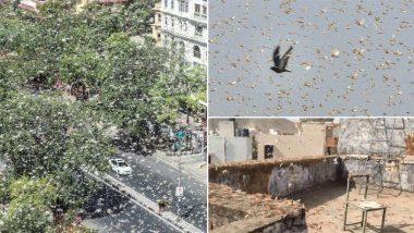 Locust Attack in TS: ఇక తెలుగు రాష్ట్రాలే టార్గెట్, పశ్చిమ భారతాన్ని వణికించిన మిడతల గుంపు, మహారాష్ట్రలో ప్రస్తుతం తిష్ట వేసిన రాకాసి మిడతలు