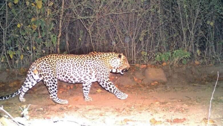 Leopard spotted in Rajendra Nagar: రాజేంద్రనగర్లో మళ్లీ చిరుత కలకలం, సీసీటీవీ కెమెరాలో నమోదైన చిరుత కదలిక దృశ్యాలు, ఎవరూ బయటకు రావొద్దని పోలీసులు హెచ్చరికలు జారీ