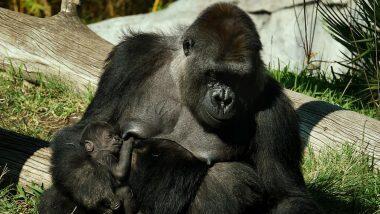 Gorillas Test Positive for Covid: తొలిసారిగా గొరిల్లాలకు కరోనావైరస్, అమెరికాలోని శాన్డియోగో సఫారి పార్కులో ఎనిమిది గొరిల్లాలకి కోవిడ్, వెల్లడించిన జూ అధికారులు
