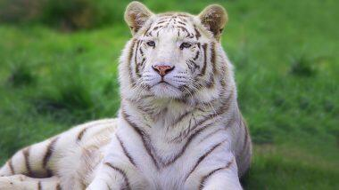 Tiger Cubs Dies with Corona: కరోనాతో రెండు తెల్ల పులి పిల్లలు మృతి, బాగా పాడైపోయిన పులి పిల్లల ఊపిరితిత్తులు, జూలో పని చేసే 6 మంది సిబ్బందికి కోవిడ్, పాకిస్తాన్ జూలో విషాద ఘటన