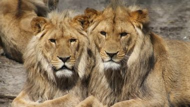 Lions Test Corona Positive: దేశంలో జంతువులకు కూడా పాకిన కరోనా, తొలిసారిగా 8 ఏసియన్ సింహాలకు కరోనా పాజిటివ్ లక్షణాలు, హైదరాబాద్లోని నెహ్రూ జూవాలాజికల్ పార్క్ మూసివేత, ఏపీలో అన్ని జూ పార్క్లు క్లోజ్
