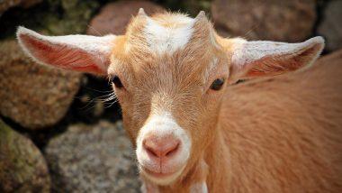 'Miracle Baby Goat': 8 కాళ్లు, రెండు పళ్లతో మేకపిల్ల జననం, పుట్టిన 10 నిమిషాలకే చనిపోయిన మేకపిల్ల, పశ్చిమ బెంగాల్లో ఘటన, మరో పిల్ల క్షేమంగా ఉందని తెలిపిన యజమాని సరస్వతి మండల్