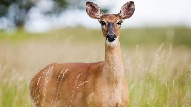 Deer Tested COVID Positive: అమెరికాలో జింకకు కరోనావైరస్, ప్రపంచంలోనే తొలికేసు, అడవి తెల్ల తోక జింకకు కొవిడ్-19 వైరస్ సోకిందని వెల్లడించిన అమెరికా వ్యవసాయ శాఖ