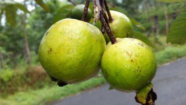 Guava Fruit Benefits: జామపండుతో అనేక వ్యాధులు దూరం, రోజుకు ఒక్క జామ కాయ తినడం వల్ల కలిగే లాభాలు ఏంటో ఓ సారి చూద్దాం